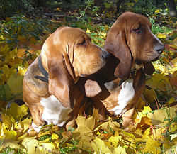 Бассет-хаунд, выбрать имя собаке порода Бассет-хаунд