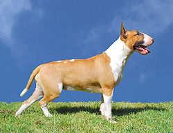 Как назвать Бультерьера? Пару кличек для собак которые подойдут именно для этой породы собак