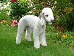 Бедлингтон-терьер варианты имен для собаки