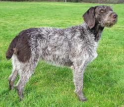 Дратхаар выбрать кличку собаке