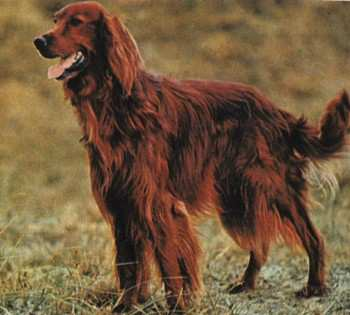 Как назвать собаку породы Ирландский сеттер